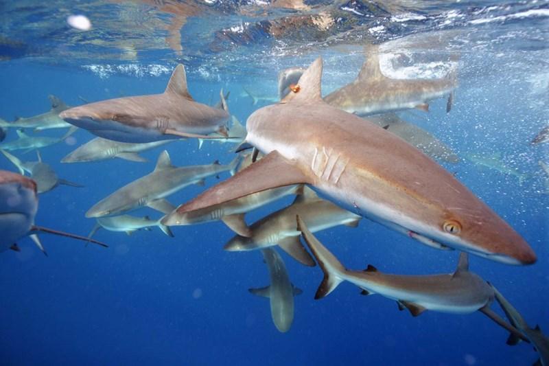 study sharks friendships social grey reef interesting animals groups sea ocean