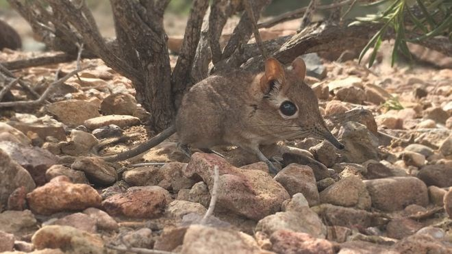 elephant shrew rediscovered africa animals amazing lost species found crazy interesing life