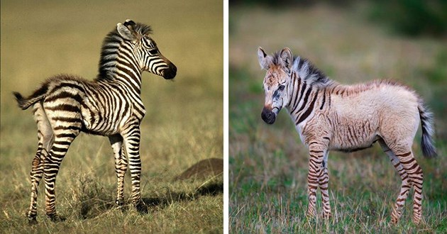 zebra foals baby animals zebra stripes beautiful cute adorable aww adorable photography