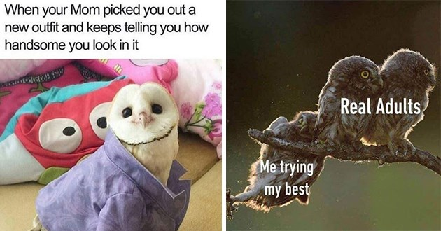 funny owl memes lol owls meme animals birds birbs aww cute wholesome hilarious | Mom picked out new outfit and keeps telling handsome look adorable owl wearing a blue shirt | Real Adults trying my best funny owl falling from a branch