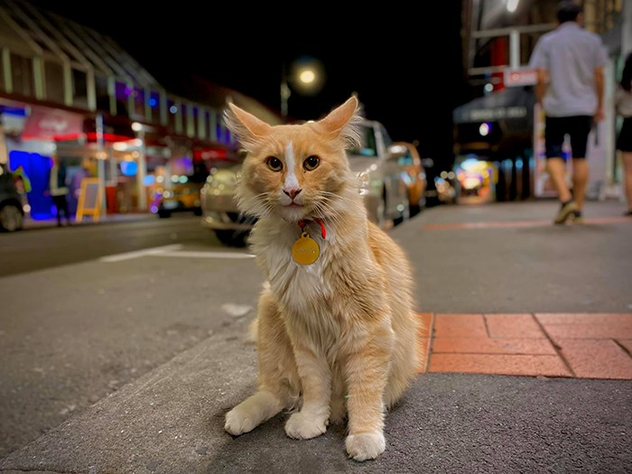 mittens cat new zealand zealander of the year cats animals amazing popular famous adorable aww cute