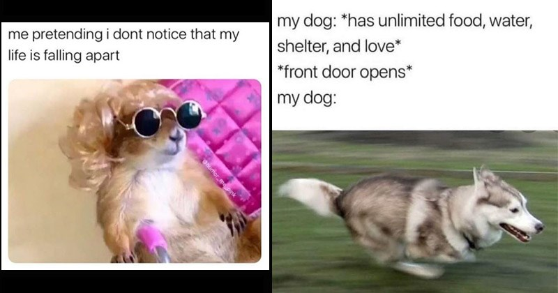 Funny animal memes | pretending dont notice my life is falling apart Ohumor_me pink rodent in a wig and round sunglasses | my dog has unlimited food, water, shelter, and love front door opens my dog: dog running zooming