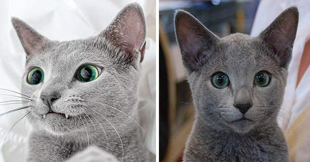 russian blue cats aww cute adorable animals green eyes sliver pretty beautiful animals photos pics