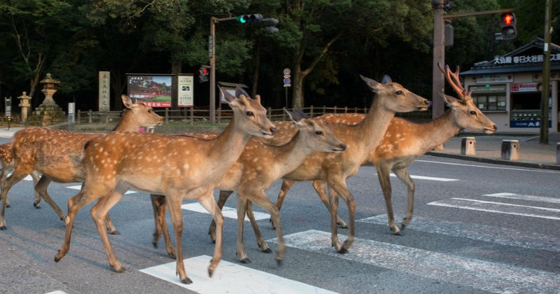 photography city deer Japan - 1234437