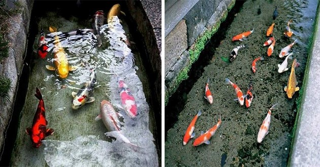 japan koi drainage canal fish fishes animals drain canals clean cleanliness