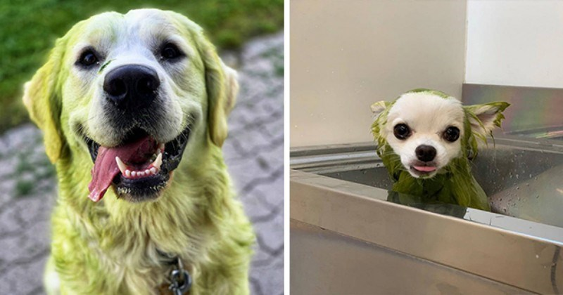 green grass dogs hulk doggos animals humor lol cute aww funny pics photos | hilarious white dogs who played in grass and turned green