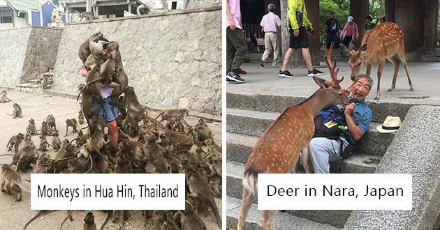 pigeons countries funny wild lol animals life crazy aww cute foxes monkeys pigs alpacas | Monkeys in Hua Hin, Thailand person swarmed by monkeys climbing all over their bodies | Deers in Nara, Japan deer getting all up in the face of a man sitting on steps