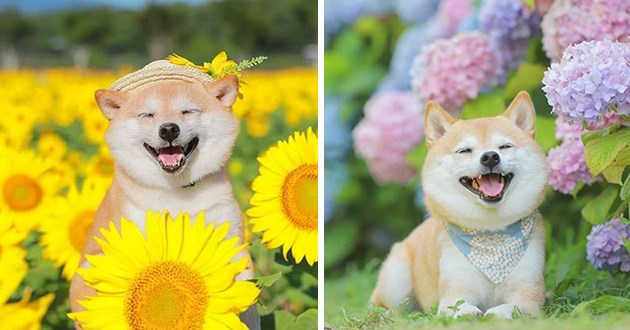happy shiba inu flowers animals dogs happiness lili instagram adorable aww cute wholesome smile smiling pics | adorable cheesing dog in a field of bright yellow sunflowers and pink flowers blooming