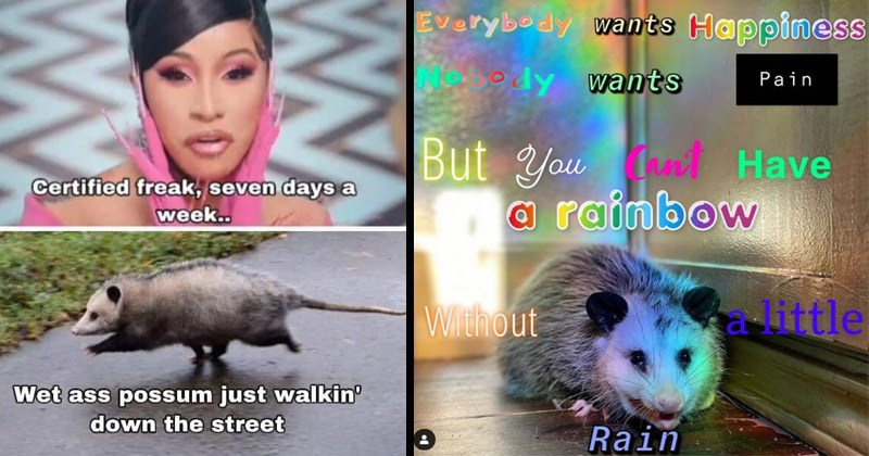 Funny memes about possums | WAP Cardi B Certified freak, seven days week. Wet ass possum just walkin down street | everybody wants Happiness edy wants Pain But nt Have rainbow With out -little Rain