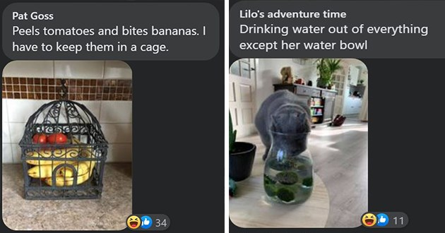 weird cats facebook challenge cat animals pets lol cute aww i can has cheezburger users | Pat Goss Peels tomatoes and bites bananas have keep them cage | Lilo's adventure time Drinking water out everything except her water bowl pitcher with cucumber slices