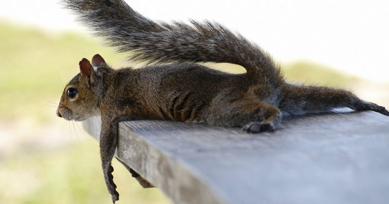 tired squirrel photoshop battle - 1237253