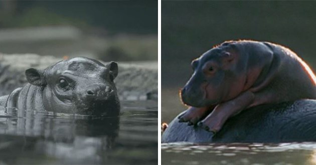 baby hippos funny cute lol aww gifs baby animals adorable derpy videos san diego zoo