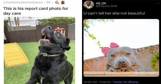 dogs doggos funny lol gifs vids wholesome uplifting animals cute aww adorable silly humor | u/numberonechewbacca This is his report card photo day care | @Esquire_DUB U can't tell her she not beautiful pretty pit bull wearing a pink bow