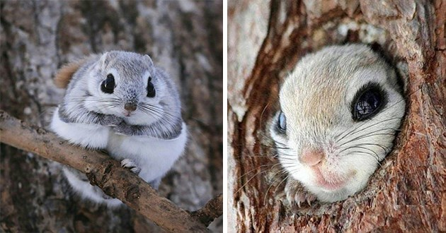 japanese flying dwarf squirrel squirrels animals japan aww adorable cute precious disney eyes