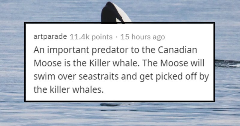 weird and bizarre facts | artparade 11.4k points 15 hours ago An important predator Canadian Moose is Killer whale Moose will swim over seastraits and get picked off by killer whales.