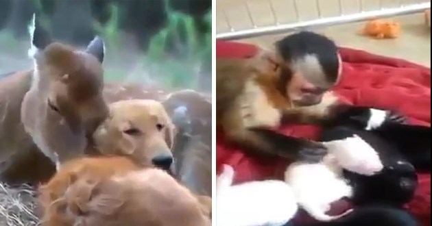 animal interspecies friendship aww friendships adorable cute animals species nature love | dog and deer cuddling together | little monkey petting tiny puppies