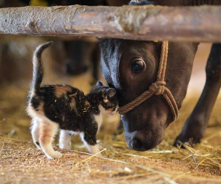images worth 1000 words beautiful photography amazing animals cats dogs | adorable kitten touching foreheads with a cow bending down
