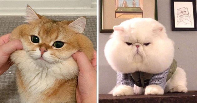 chubby cats cheeks aww funny lol adorable cuteness adorable pinchable animals cat