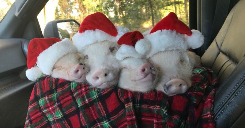 christmas festive pig santa - 1241093