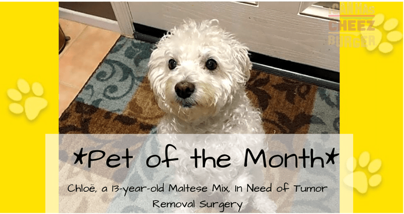 "A cover photo of a dog wholes name is Chloe, who is a 13-year-old Maltese mix and on the photo says ""Pet of The Month"" and that chloe is in need of a tumor removal surgery"