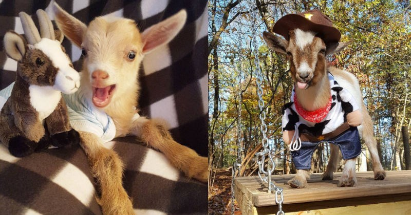 aww goat instagram goats cute Sanctuary rescue