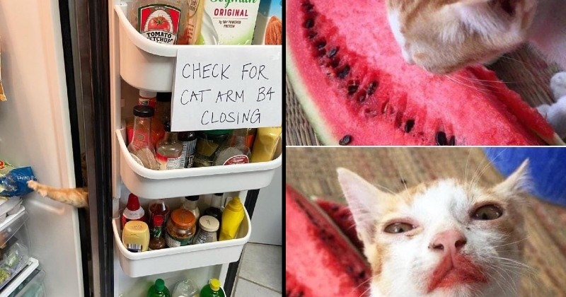 Funny cats caught trying to take food | Séymlk CLASS ORIGINAL 7g SOY POWERED PROTEIN TOMATO TCHUP CHECK CAT ARM B4 CLOSING Sesaime note inside fridge | cat eating watermelon