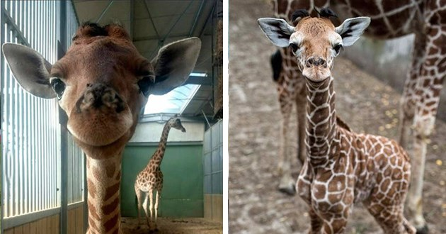 baby giraffes hair funny horns aww cute lol humor animals adorable wildlife silly pics