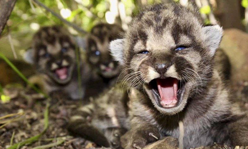mountain lions kittens boom baby aww cute animals life newborns animal kitten lion wildcats