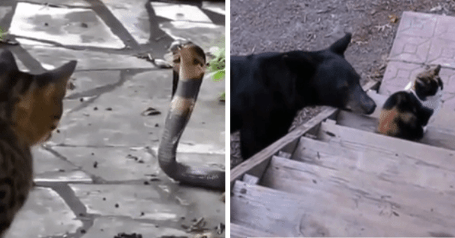 cat cats dog bear goat kitty snake funny meme gif lizard fierce fearless fox videos gifs | cat and cobra snake standoff stare off | black bear sniffing sneaking up on a cat