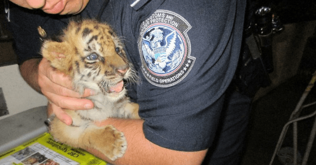 tiger tigers cub cute wholesome aww adorable police rescued pics pictures saved