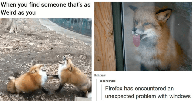 funny fox foxes memes pictures tumblr twitter hilarious cute laughing windows | find someone 's as Weird as two foxes yelling in unison | thebroph: psirensonzai: Firefox has encountered an unexpected problem with windows fox licking glass window