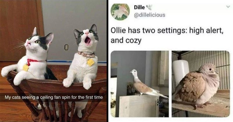 Funny and cute memes about animals | My cats seeing ceiling fan spin first time | Dille @dillelicious Ollie has two settings: high alert, and cozy pigeon