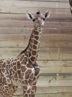 baby zoo giraffes - 1247237
