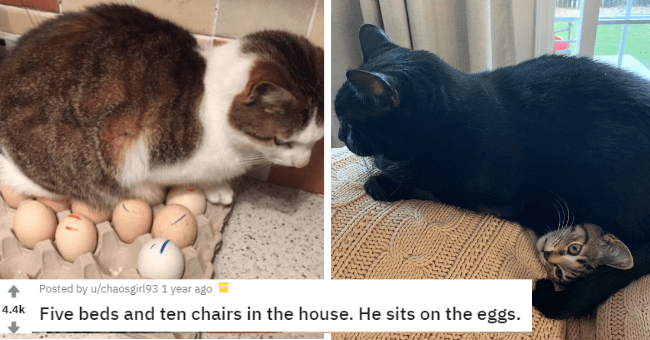 cats sitting in places they shouldn't laptop eggs turtle cat funny memes cute tweets twitter tumblr reddit | Posted by u/chaosgirl93 1 year ago 4.4k Five beds and ten chairs house. He sits on eggs. cat sitting on top a carton of eggs