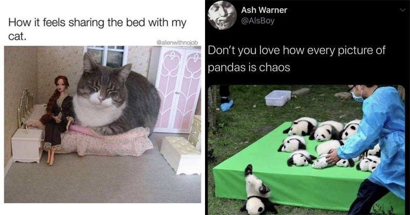Funny and cute memes about animals | feels sharing bed with my cat alienwithnojob giant cat in a barbie house | Ash Warner @AlsBoy Don't love every picture pandas is chaos panda babies