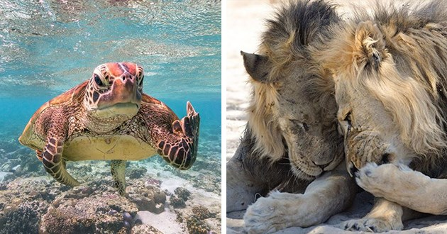 finalists of the comedy wildlife photography awards - thumbnail includes two images turtle flipping off photographer and two lions giggling and snickering
