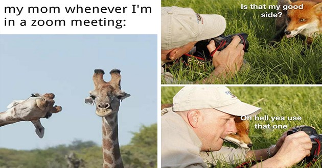 wholesome animal memes for a good week - thumbnail includes two images one of comedy wildlife photography awards giraffe moms on zoom and a fox and photographer having a conversation | my mom whenever zoom meeting: |Is my good side? Oh hell yea use one