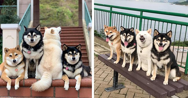one white shiba inu constantly messing up the group photo - thumbnail includes two images one of the white shiba inu turned around and another of the white shiba barring teeth instead of smiling