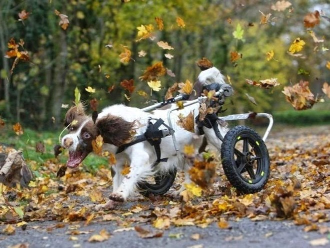 happy dogs frolicking in autumn leaves - thumbnail is a disabled dog having the best time amongst the autumn leaves