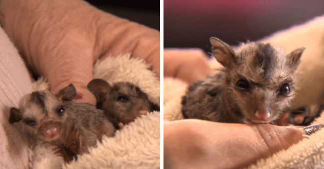 two squirrel gliders rescued and named romeo and juliet inseparable tiny australia thumbnail includes two pictures including one with the two squirrel gliders held in together in a blanket and another with one squirrel glider looking at the camera