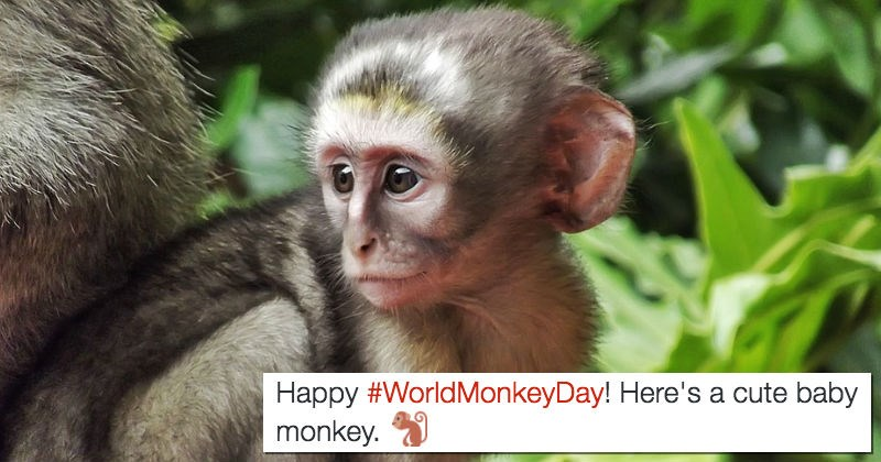 twitter monkeys primate monkey cute