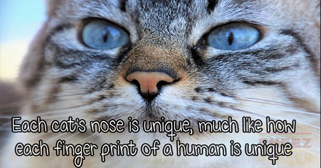 list of cool interesting cat facts - thumbnail of cat nose unique like human finger prints | Each cat's nose is unique, much like each finger print human is unique