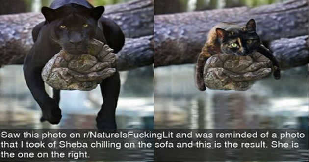 funny and cute cat snapchats - thumbnail of black panther and black cat chilling on tree branch | Saw this photo on r/NaturelsFuckingLit and reminded photo took Sheba chilling on sofa and this is result. She is one on right.