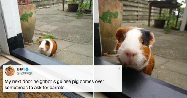 list of adorable and wholesome animal pics, memes, and tweets - thumbnail of a guinea pig at a window asking for carrots | ughHugs My next door neighbor's guinea pig comes over sometimes ask carrots