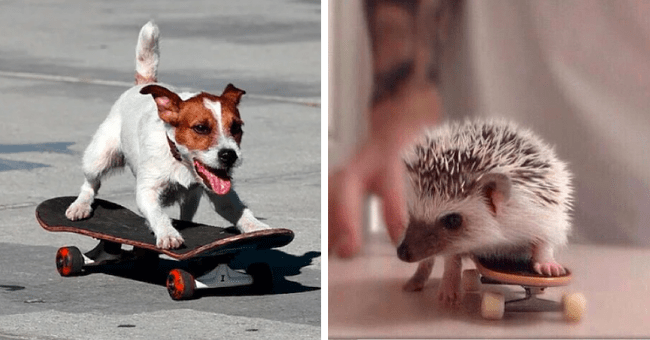 forty pictures of different animals skateboarding thumbnail includes two pictures including a dog on a skateboard and a tiny hedgehog on a small skateboard