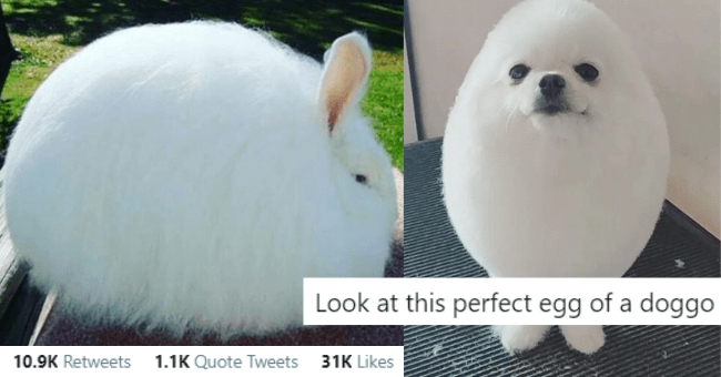 twitter thread of pictures of round animals with cute captions for each one thumbnail includes two pictures including a round fluffy white rabbit '10.9K Retweets 1.1K Quote Tweets 31K Likes' and another of a white round fluffy dog 'Look at this perfect egg of a doggo'