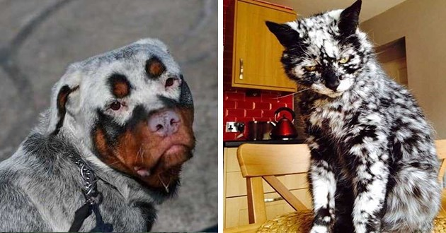 list of a variety of different animals who have the rare depigmentation vitiligo - thumbnail includes two images one of dogs with vitiligo and one of cat with vitiligo