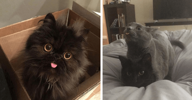 pictures and tweets of cats with their tongues out blep thumbnail includes two pictures of cats one with a dark cat looking at the camera with its tongue out and another with a grey cat with its tongue out sitting on top of a black cat