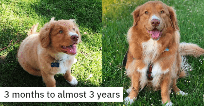 before and after pictures of dog transformations from young puppies to fully grown dogs thumbnail includes two pictures of the same dog one of them of a puppy the other of a fully grown dog '3 months to almost 3 years'