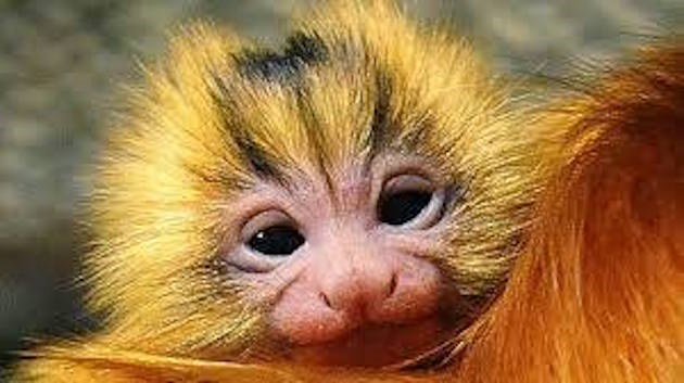 beautiful photos of the golden lion tamarin monkey - thumbnail of mom and baby golden lion tamarin monkey